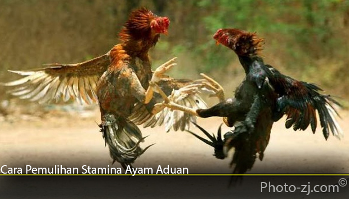 Cara Pemulihan Stamina Ayam Aduan