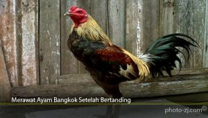Merawat Ayam Bangkok Setelah Bertanding