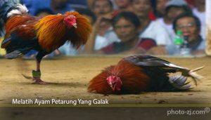 Melatih Ayam Petarung Yang Galak
